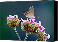 Karen Adams Canvas Prints - Grey Hairstreak Butterfly with Blue Background Canvas Print by Karen Adams