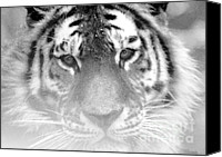 Nick Gustafson Canvas Prints - Grey Tiger Canvas Print by Nick Gustafson