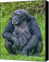 Chimpanzee Photo Canvas Prints - Grinning Chimp Canvas Print by Chris Thaxter