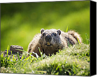Groundhog Canvas Prints - Groundhog Day Canvas Print by Vicki Jauron