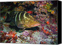 Gag Grouper Canvas Prints - Grouper Canvas Print by Jimmy Nelson