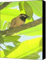 Mary Deal Canvas Prints - Hawaii Bird - Akekee Canvas Print by Mary Deal