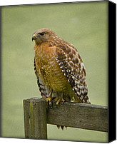 Featured Pyrography Canvas Prints - Hawk at Rest Canvas Print by Shirley Tinkham