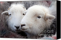 March Canvas Prints - Herdwick Sheep Canvas Print by John Potter