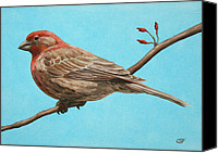 Feathers Painting Canvas Prints - House Finch Canvas Print by Crista Forest