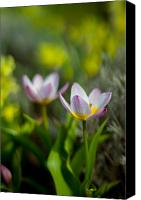 Flower Photography Canvas Prints - If Only... Canvas Print by Daniel Chen