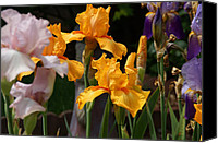 Mick Anderson Canvas Prints - Iris Profusion Canvas Print by Mick Anderson