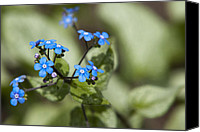 "\""forget Me Not Flowers\\\"" Canvas Prints - Jack Frost Canvas Print by Christina Rollo"