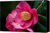 Theaceae Canvas Prints - Japanese Camellia-the official state flower of  Alabama Canvas Print by Eti Reid