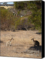 Kangaroo Canvas Prints - Kangaroo Bush Canvas Print by Phil Banks