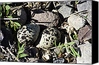 Killdeer Canvas Prints - Kildeer Nest Canvas Print by Eric Rundle