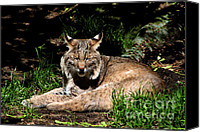 Nick Gustafson Canvas Prints - Lazy Bobcat in the Sun Canvas Print by Nick Gustafson