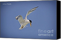 Barbara Bowen Canvas Prints - Least Tern hovering Canvas Print by Barbara Bowen