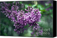 Amanda Barcon Canvas Prints - Lilac Canvas Print by Amanda Barcon