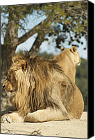 Killer Pyrography Canvas Prints - Lion chilling Canvas Print by Jamie Bishop