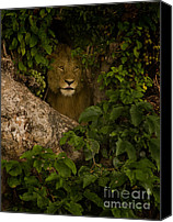 Male Special Promotions - Lion In A Tree Canvas Print by J L Woody Wooden