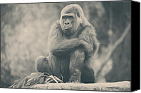 Monkeys Canvas Prints - Looking So Sad Canvas Print by Laurie Search