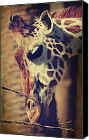 Giraffes Canvas Prints - Lunchtime Twigs Canvas Print by Laurie Search