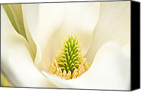 Flora Canvas Prints - Magnolia Blossom Canvas Print by Kim Aston