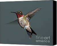 Male Hummingbird Canvas Prints - Male Ruby-Throated Hummingbird 1 Canvas Print by Lara Ellis