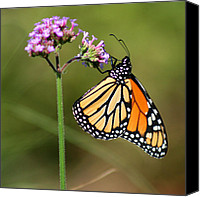 Karen Adams Canvas Prints - Monarch Butterfly on Vibernum Square Canvas Print by Karen Adams