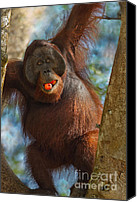 Pongo Pygmaeus Canvas Prints - More Than a Mouthful Canvas Print by Ashley Vincent