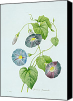 Featured Canvas Prints - Morning Glory Canvas Print by Pierre Joseph Redoute