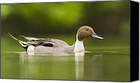 Colorfull Canvas Prints - Mr Pintail  Canvas Print by Mircea Costina Photography