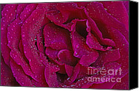 Bloom Special Promotions - Nicks Rose Macro Canvas Print by Nick  Boren