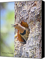 Barbara Bowen Canvas Prints - Northern Flicker in nesting cavity Canvas Print by Barbara Bowen