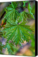 Steve Harrington Canvas Prints - Norway Maple Leaf Canvas Print by Steve Harrington