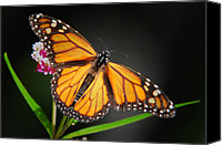 Monarch  Canvas Prints - Open Wings Monarch Canvas Print by Christina Rollo