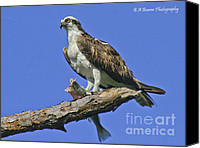 Barbara Bowen Canvas Prints - Osprey eating Canvas Print by Barbara Bowen