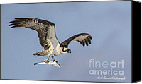 Barbara Bowen Canvas Prints - Osprey with dinner Canvas Print by Barbara Bowen