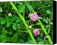 Rose Photography Canvas Prints - Parallel Vines Canvas Print by Al Powell Photography USA