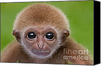 Primates Canvas Prints - Pick a Card Any Card Canvas Print by Ashley Vincent