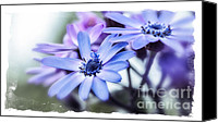 Spring Garden Art Canvas Prints - Pink and Blue Cineraria Canvas Print by Julie Palencia
