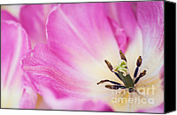 Jenny Rainbow Canvas Prints - Pink Tulip. The Tulips of Holland Canvas Print by Jenny Rainbow
