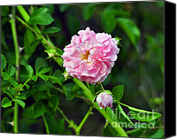 Rose Photography Canvas Prints - Pretty in Pink Canvas Print by Al Powell Photography USA