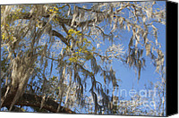 Live Oaks Canvas Prints - Pure Florida - Spanish Moss Canvas Print by Christine Till