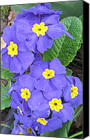Melinda Saminski Canvas Prints - Purple Primrose  Canvas Print by Melinda Saminski