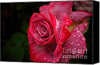Peggy J Hughes Canvas Prints - Raindrops On Roses Canvas Print by Peggy J Hughes