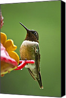 Raining Canvas Prints - Rainy Day Hummingbird Canvas Print by Christina Rollo