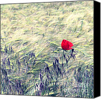 Poppies Canvas Prints - Red Poppy 2 Canvas Print by Kristin Kreet