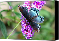 Karen Adams Canvas Prints - Red Spotted Purple Butterfly on Butterfly Bush Canvas Print by Karen Adams