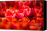 Sonja Quintero Canvas Prints - Red Tulip Blend Canvas Print by Sonja Quintero