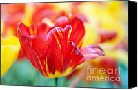 Jenny Rainbow Canvas Prints - Red Tulip. The Tulips of Holland Canvas Print by Jenny Rainbow