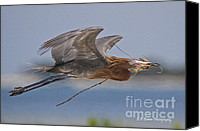 Barbara Bowen Canvas Prints - Reddish Egret nest building Canvas Print by Barbara Bowen