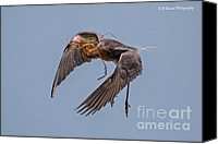 Barbara Bowen Canvas Prints - Reddish Egret with nest building Canvas Print by Barbara Bowen