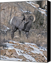 Rams Horn Canvas Prints - Rocky Mountain Big Horn Ram  Canvas Print by Gary Langley
